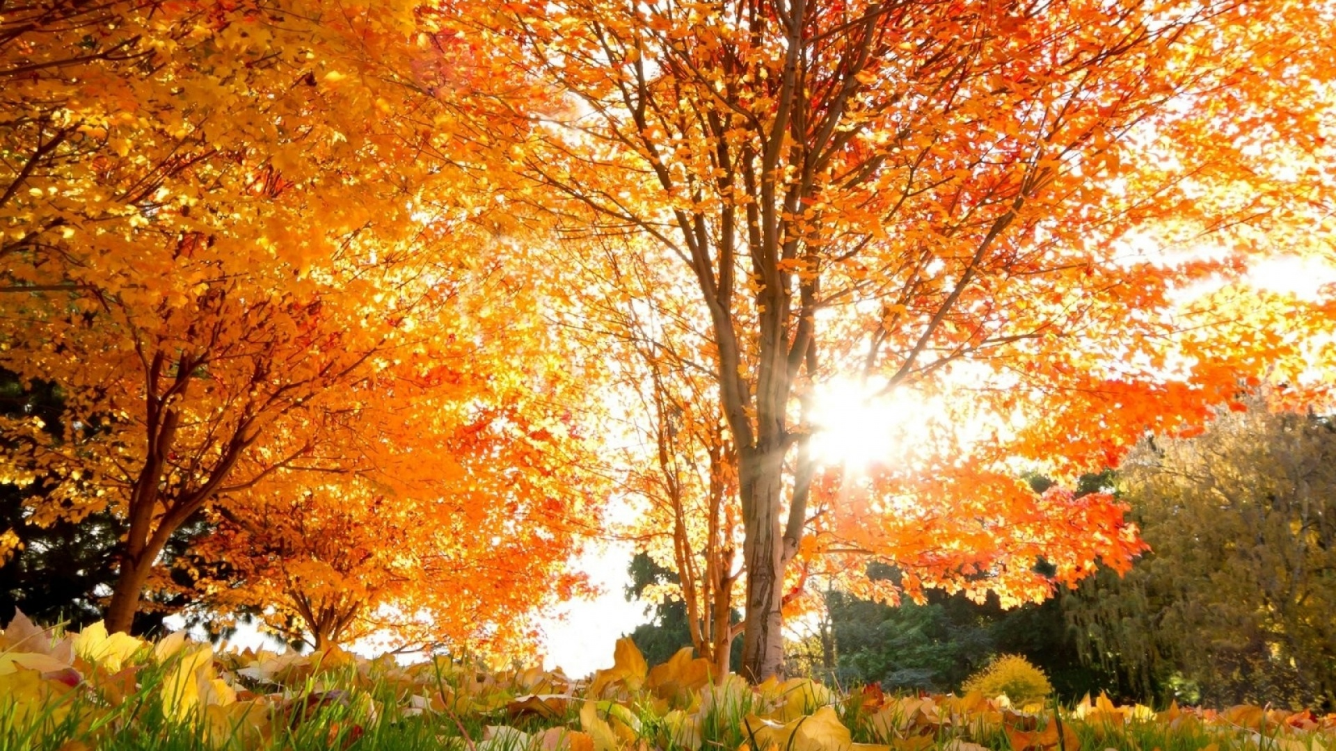 1920x1080 Orange Autumn Trees Amp Sunlight Desktop Pc And