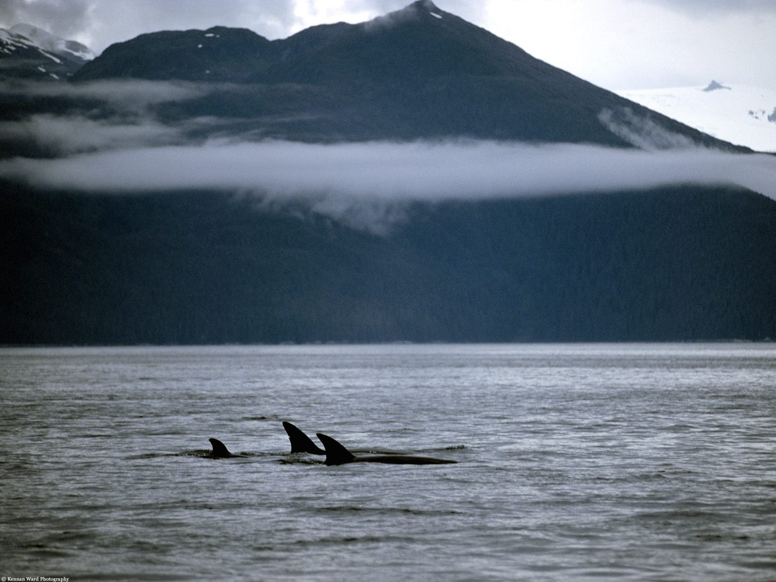 Orca whales family wallpapers orca whales family stock photos image orca whales family wallpapers and stock photos thecheapjerseys Images