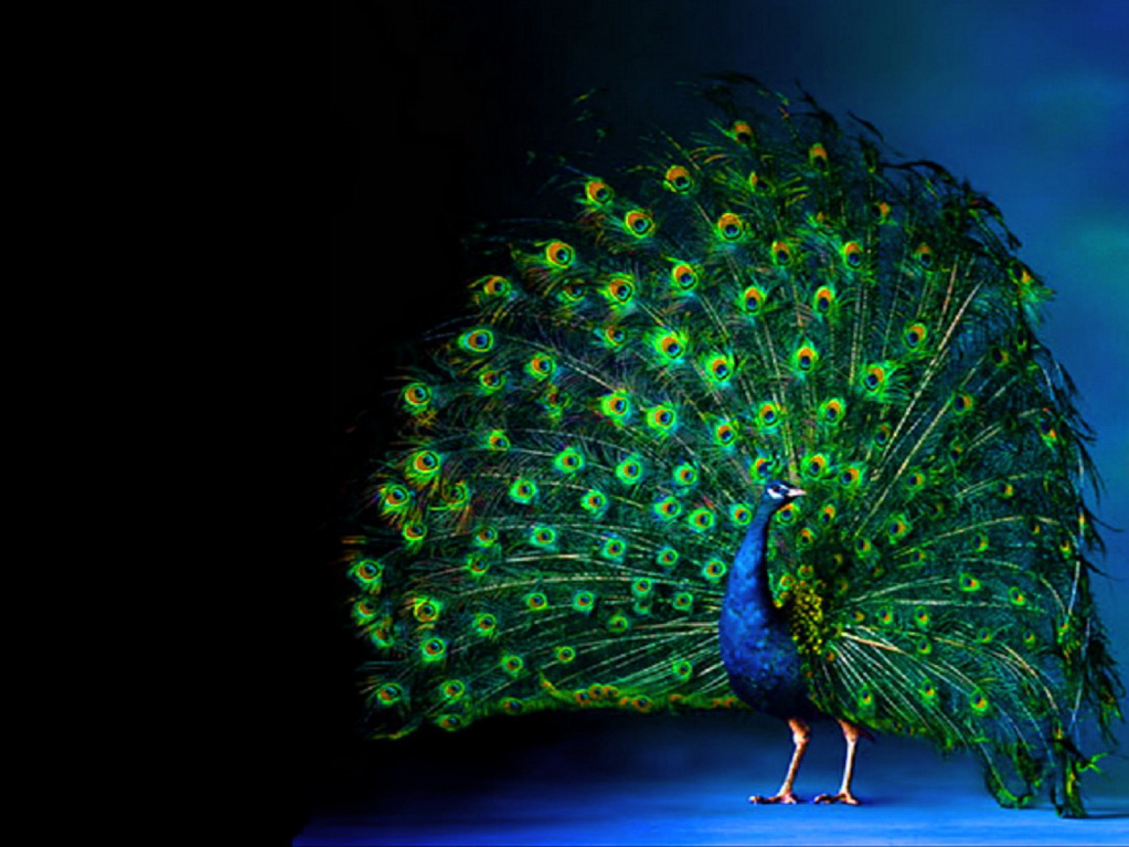 Peacock Art Photography Wallpaper Hq Backgrounds: Peacock Luminous Feathering Wallpapers