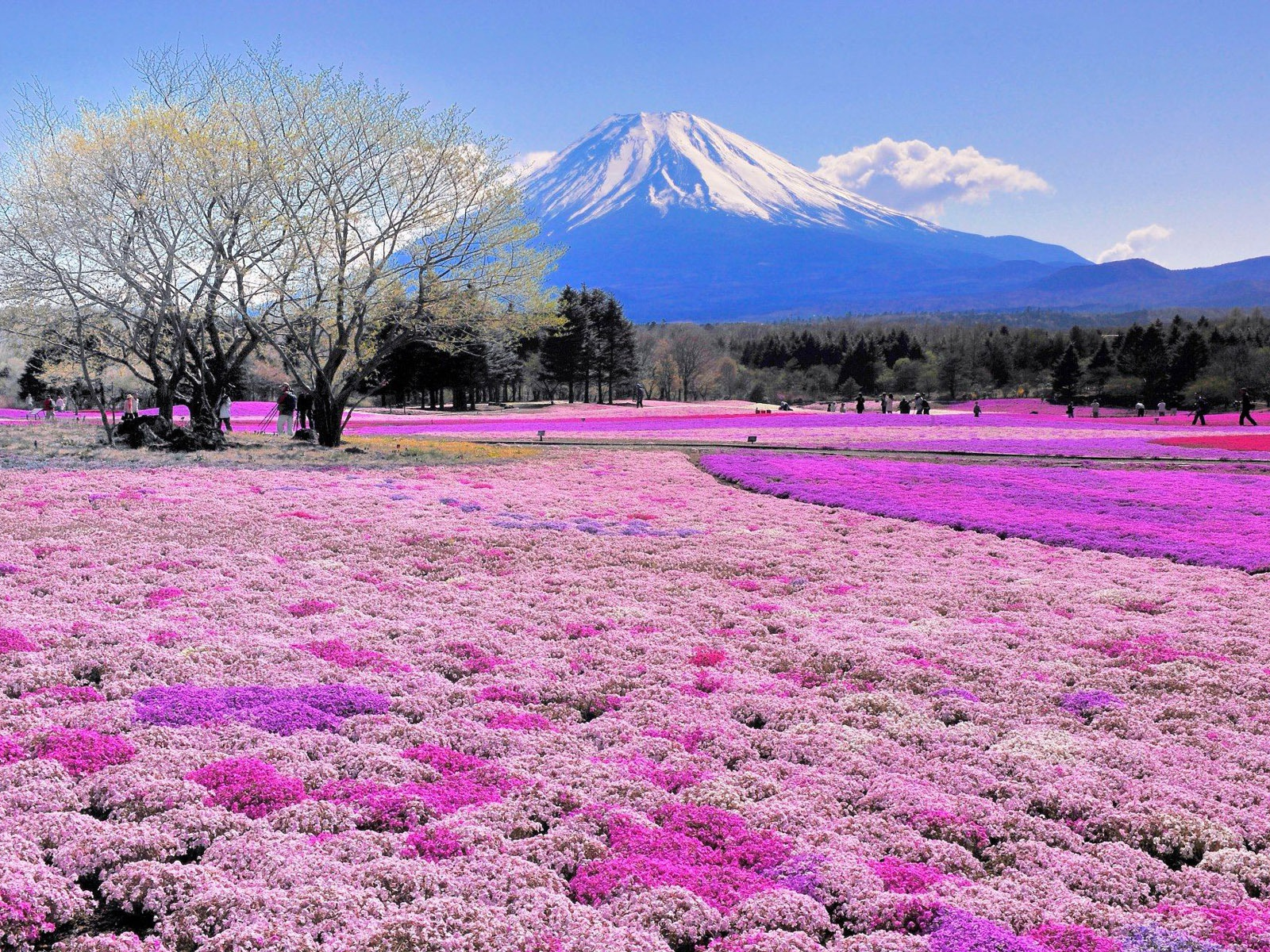 1500x500 Pink Flower Field Mount Fuji Twitter Header Photo