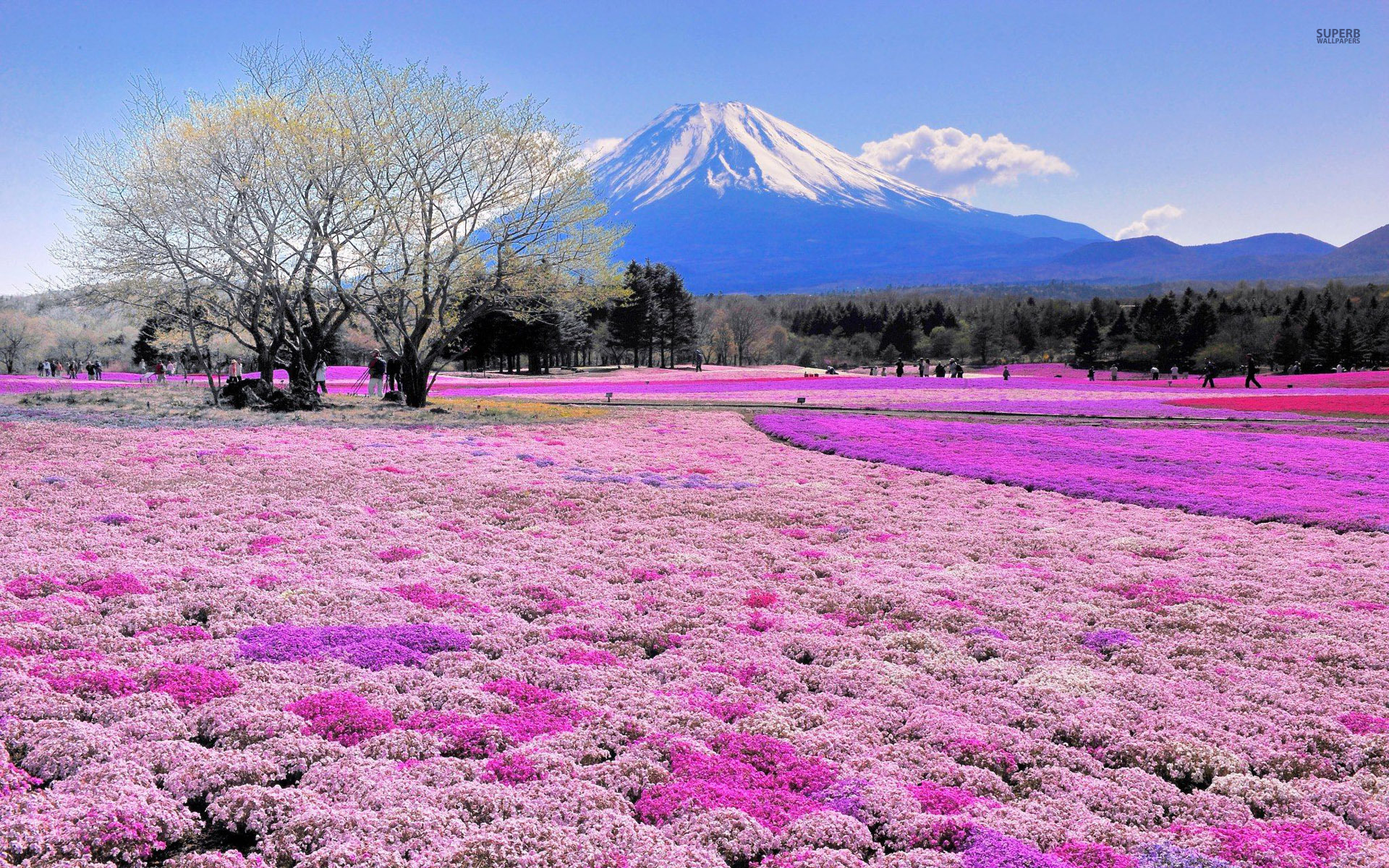 A Field Of Flowers And Mt Fuji