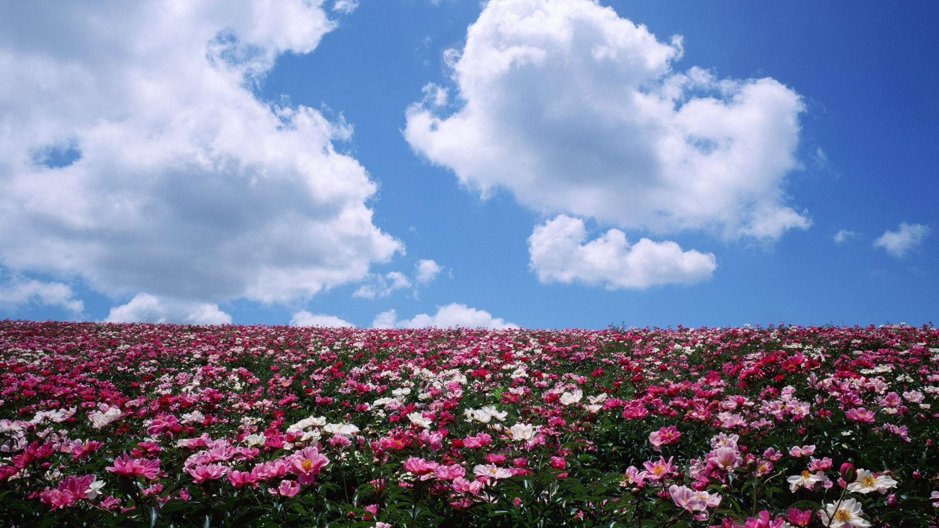 1920x1080 pink flower field sky clouds desktop pc and mac wa