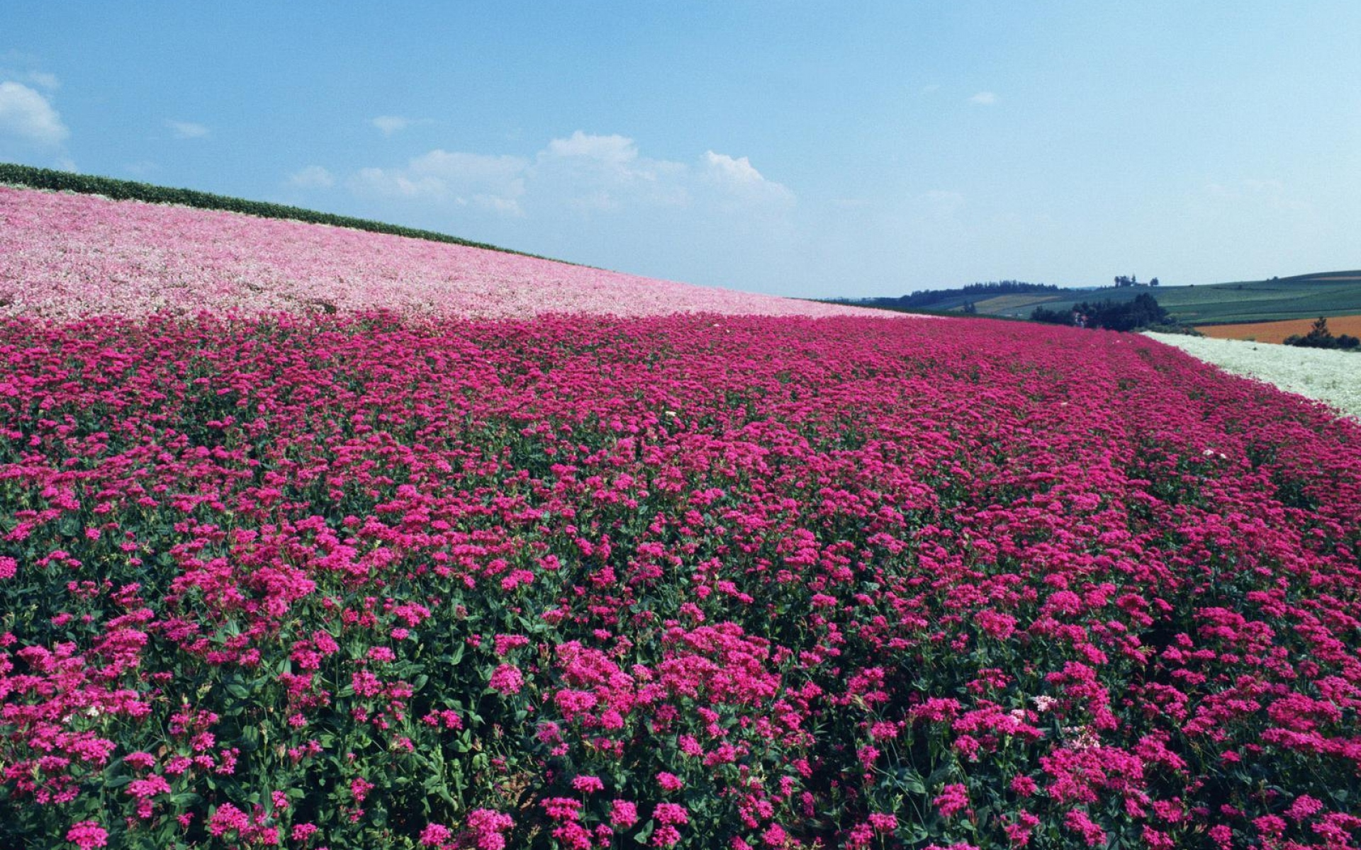Pink flower fields sky wallpapers pink flower fields sky stock image pink flower fields sky wallpapers and stock photos mightylinksfo