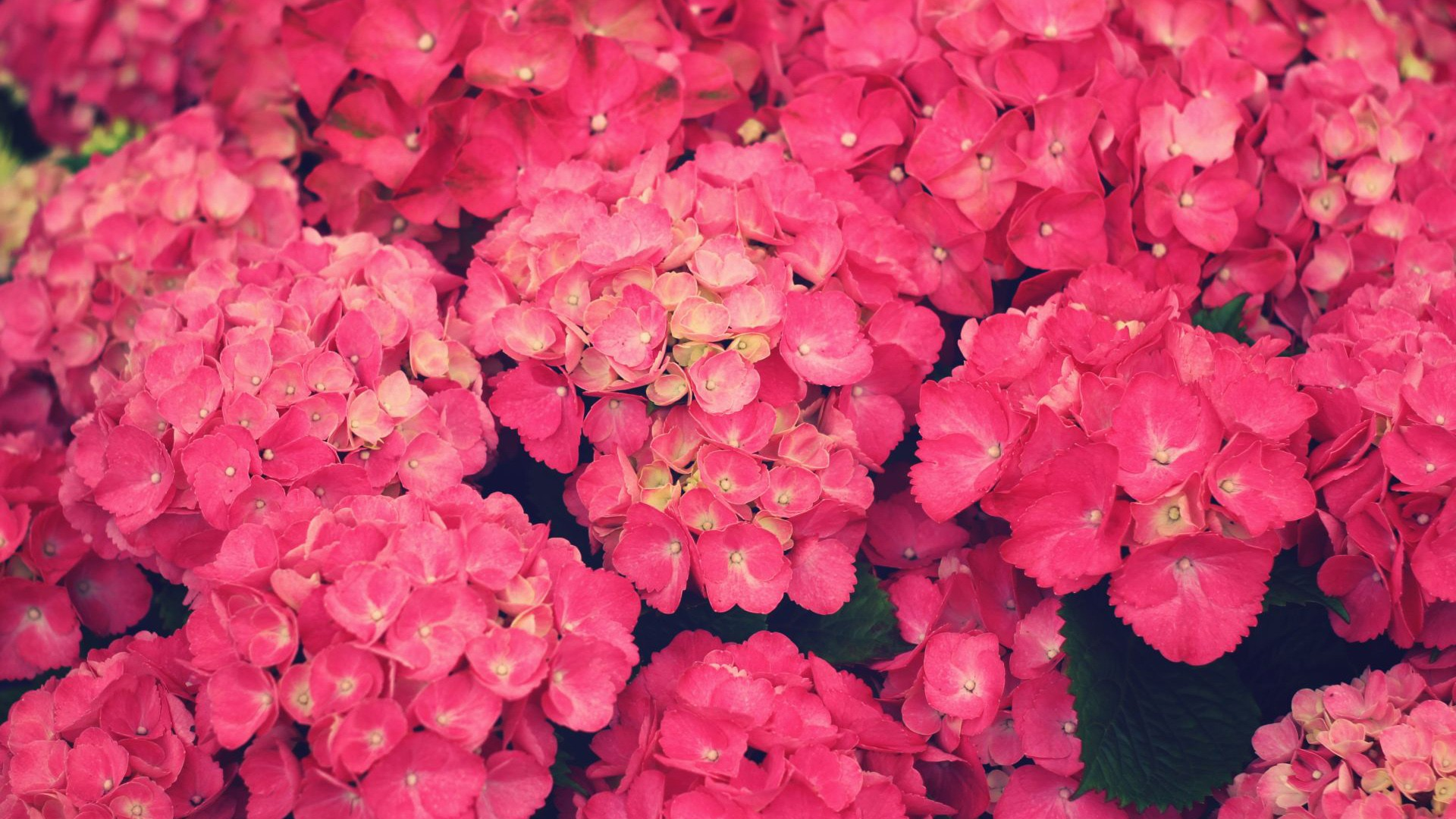 wallpaper pink flowered flower - photo #35
