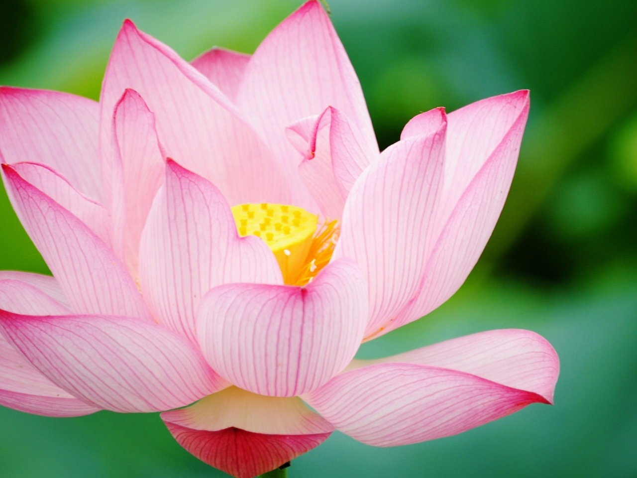 1280x960 Pink lotus, flower, flowers
