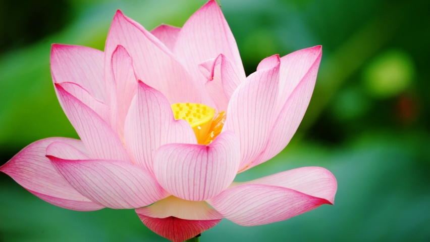 852x480 Pink lotus, flower, flowers