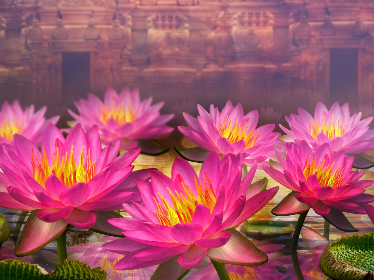 1280x720 Pink Lotus Flowers Vimeo Cover Image