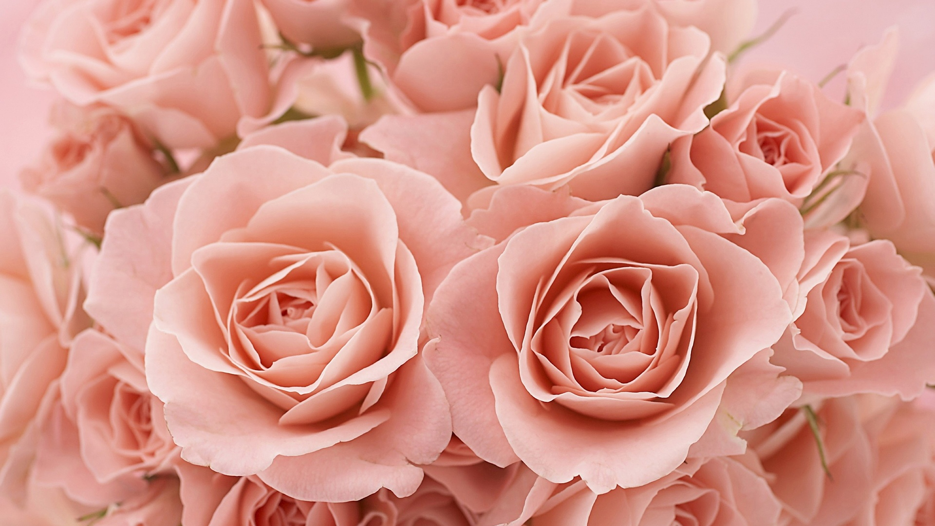 Pink Roses Wallpapers Pink Roses Stock Photos