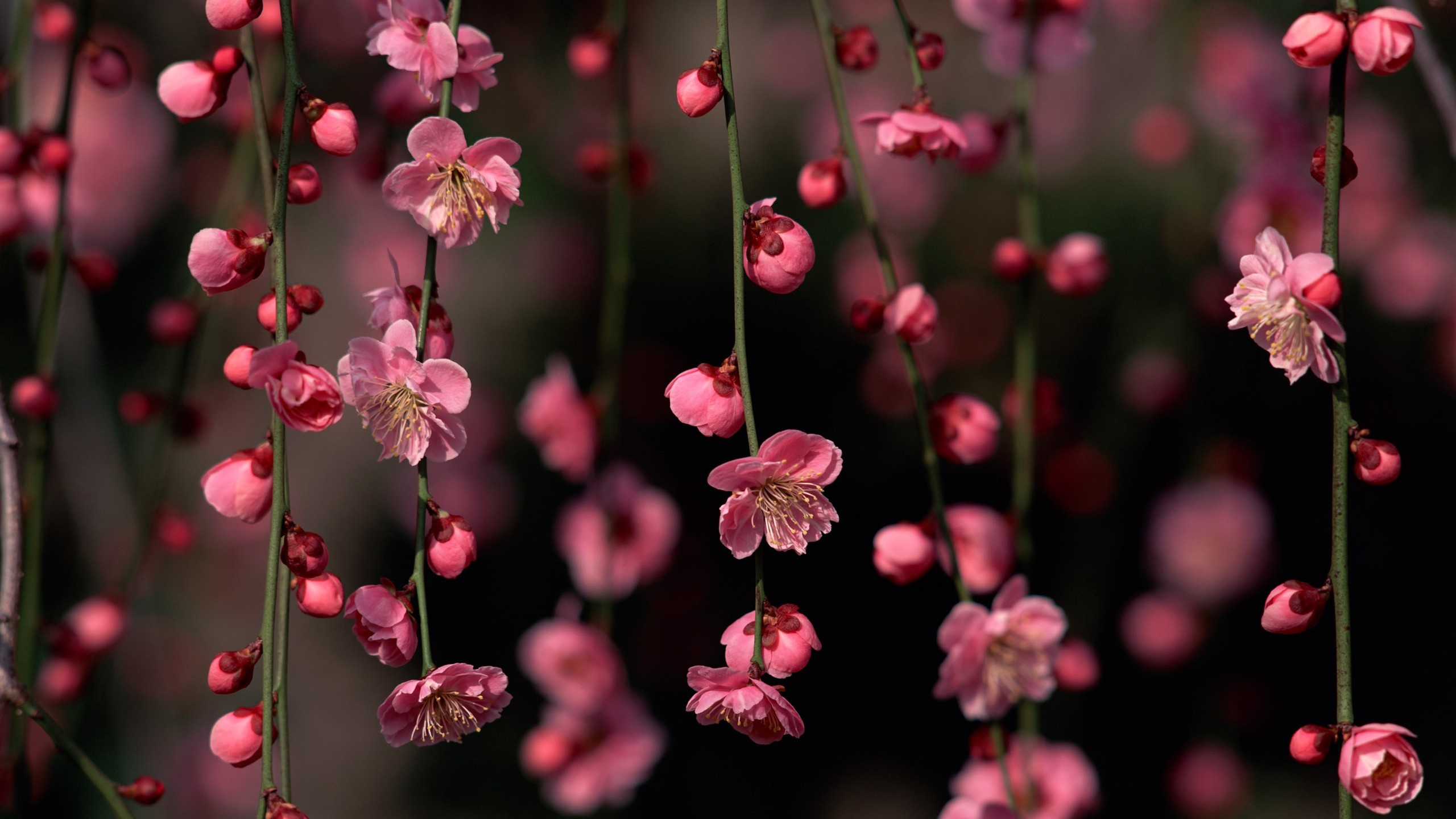 Love Wallpaper In Fb : 2560x1440 Pink Spring Flowers desktop Pc and Mac wallpaper