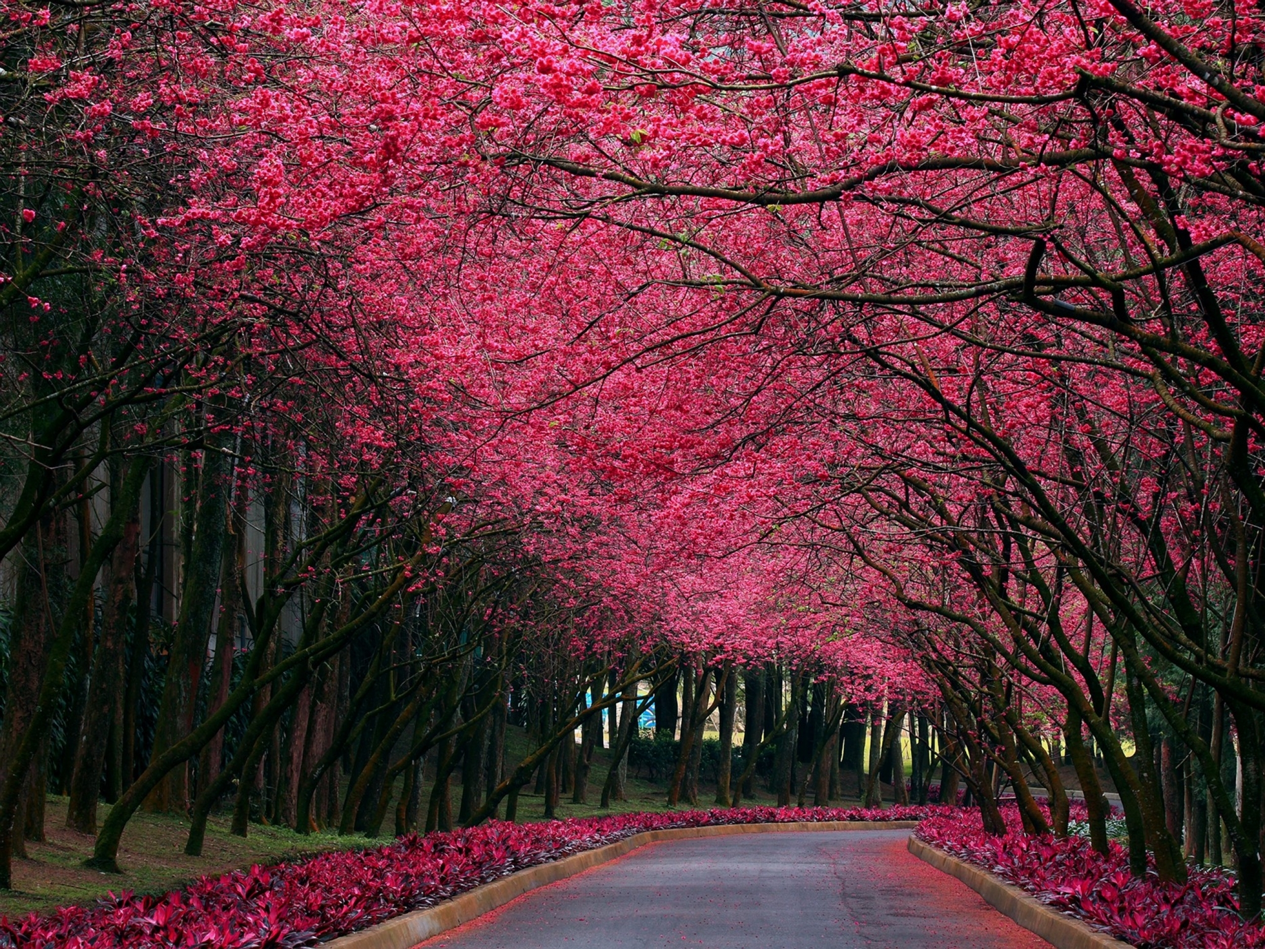pink spring trees wallpaper - photo #3