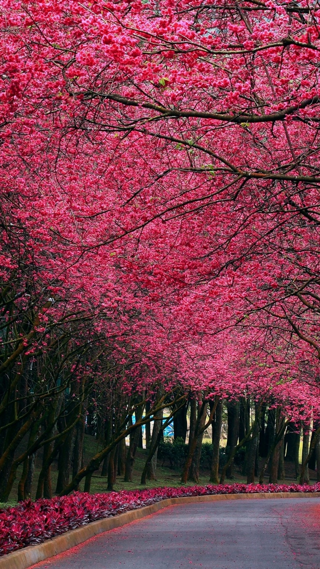1080x1920 Pink Trees Amp Road Spring Time Galaxy S4 Wallpaper