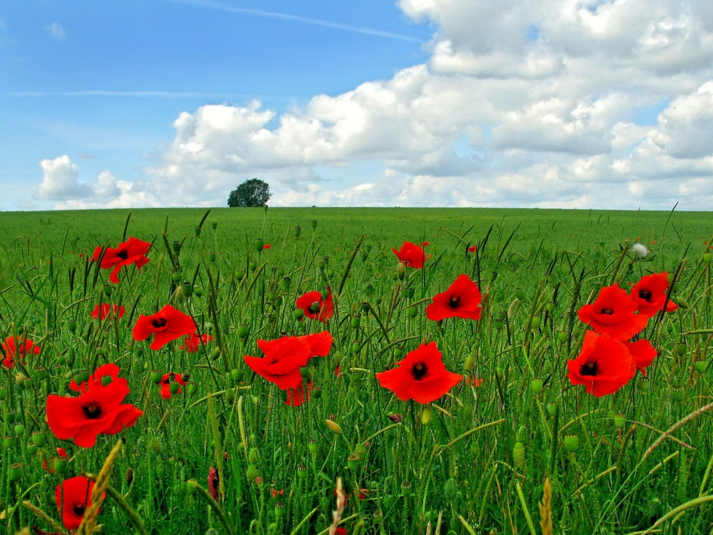 1024x768 Poppy flowers on field