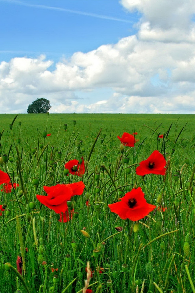 640x960 Poppy flowers on field