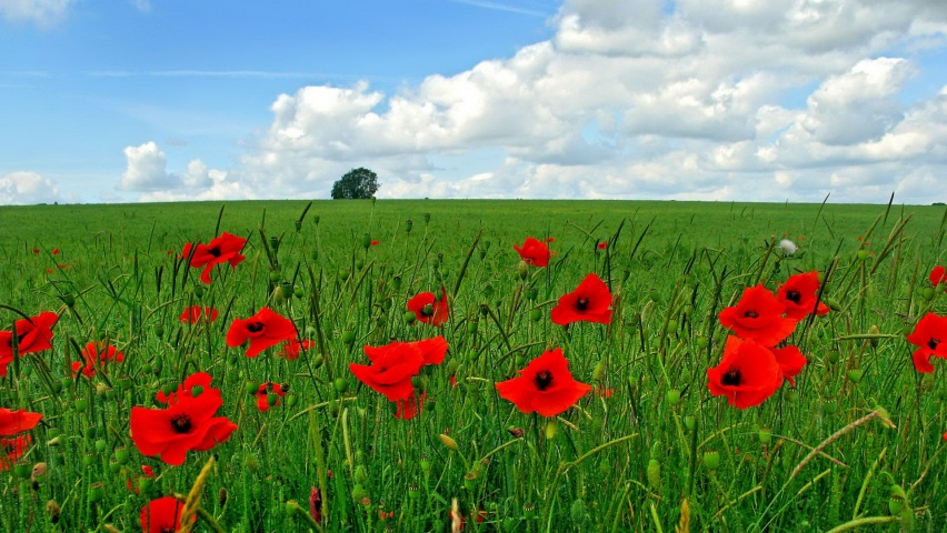 852x480 Poppy flowers on field