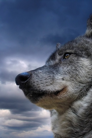 320x480 portrait of a wolf iphone wallpaper