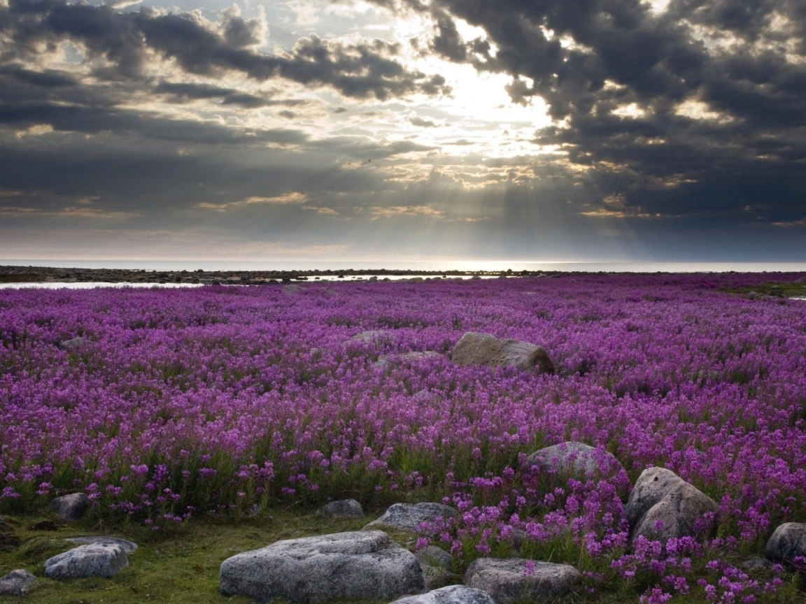 1152x864 Purple Flowers Stones & Sky
