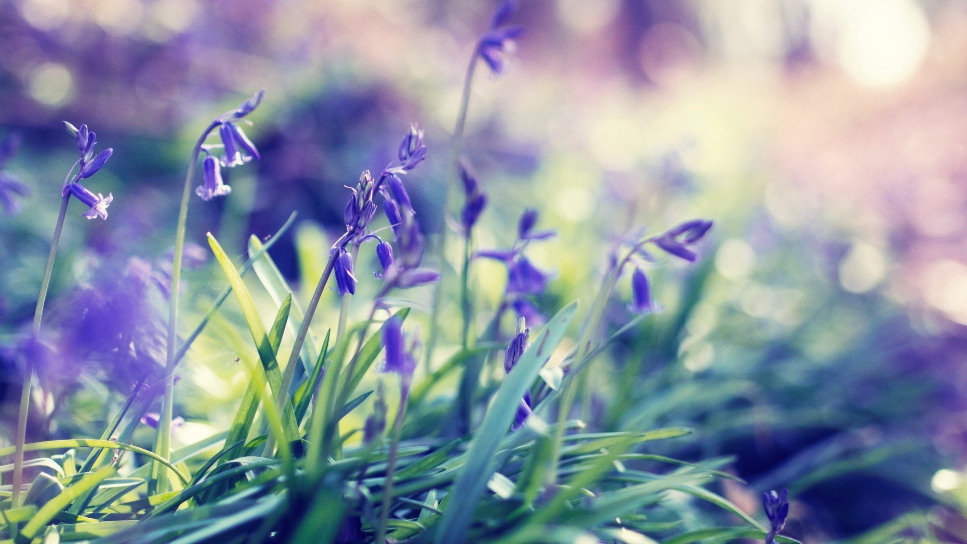 1920x1080 Purple Spring Flowers Desktop Pc And Mac Wallpaper
