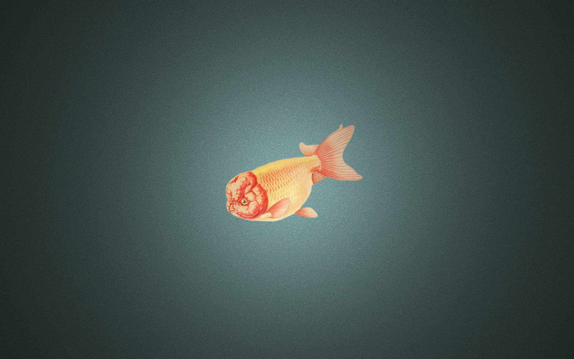Image Ranchu Goldfish Wallpapers And Stock Photos