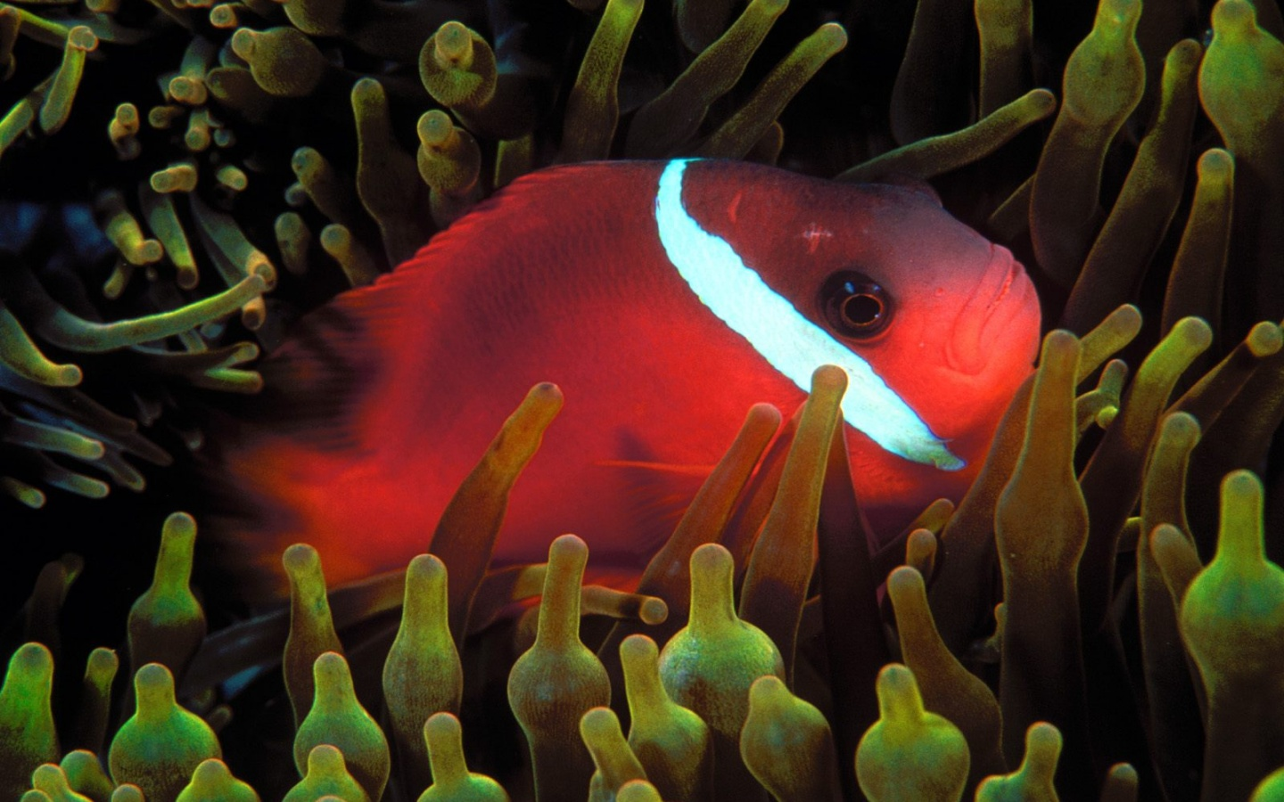 1440x900 Red Anemonefish
