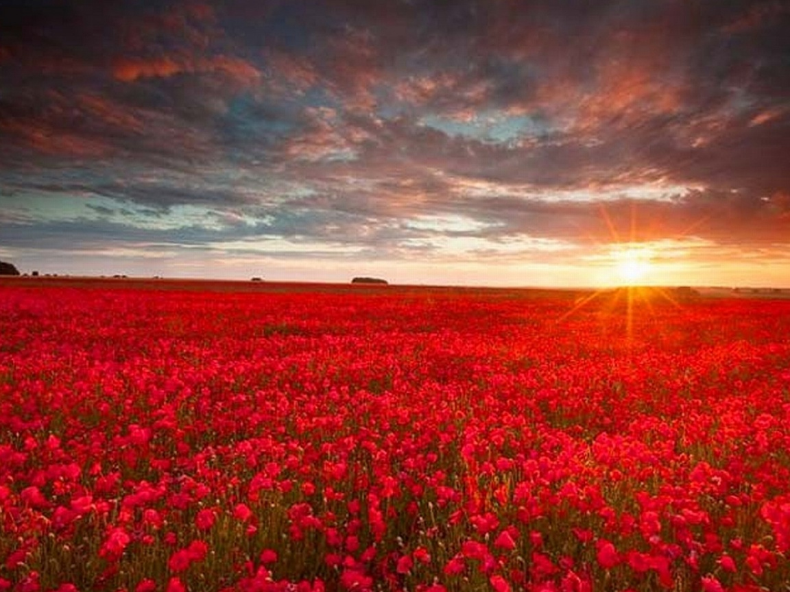 1152x864 red flower field desktop pc and mac wallpaper - Wallpaper pictures ...