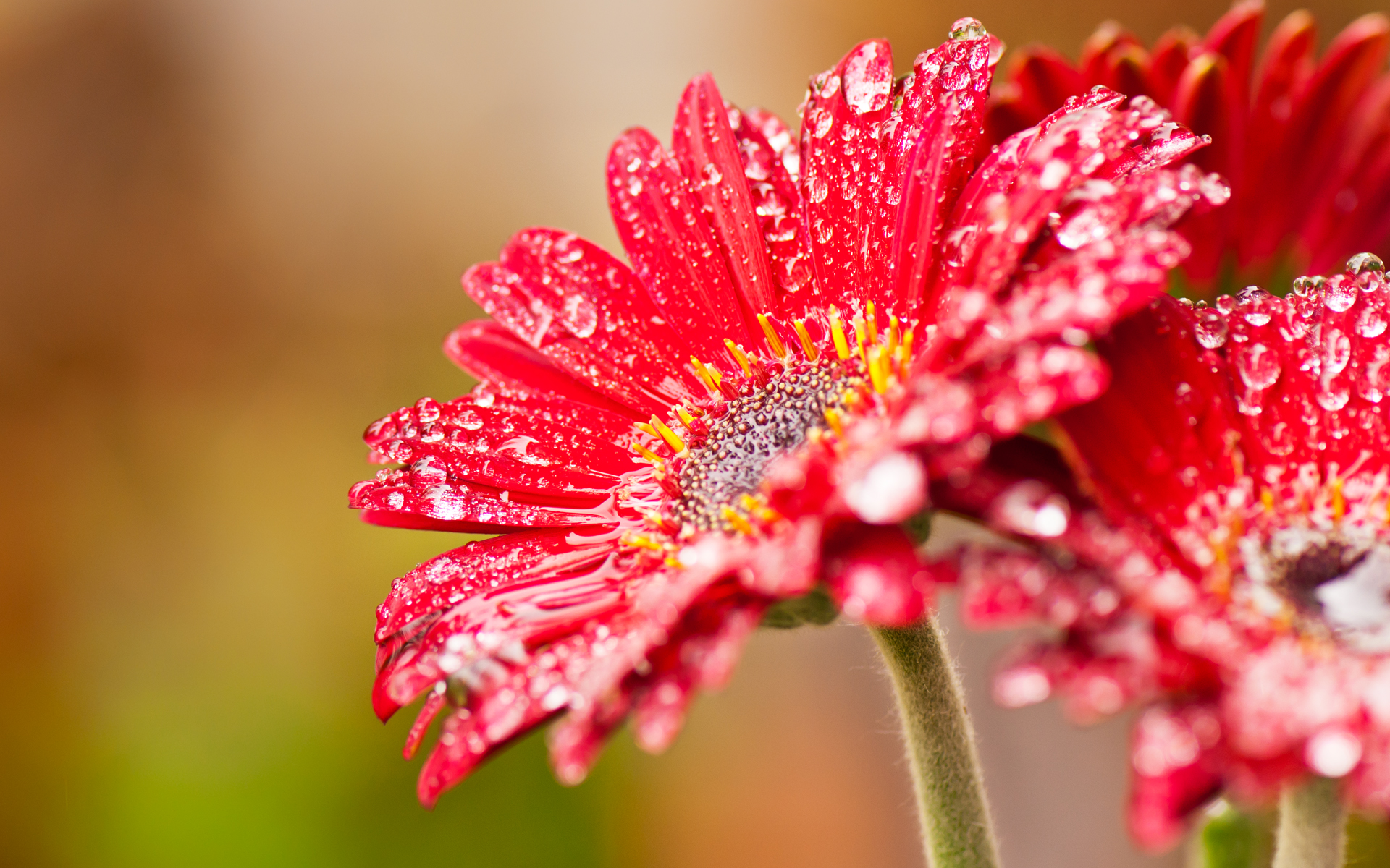 Red Flower Wallpaper Collection For Free Download