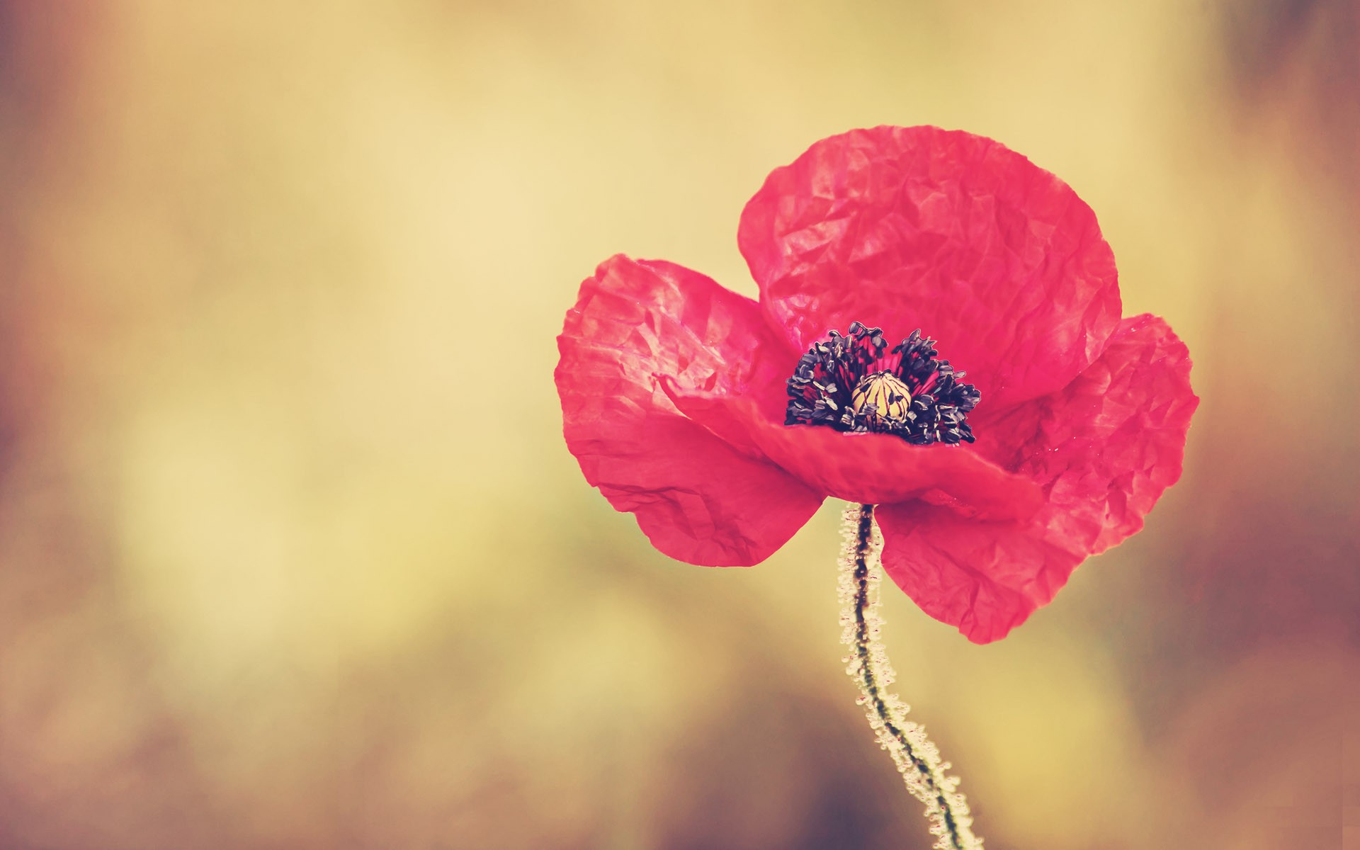 1920x1200 Red Poppy Flower Desktop Pc And Mac Wallpaper