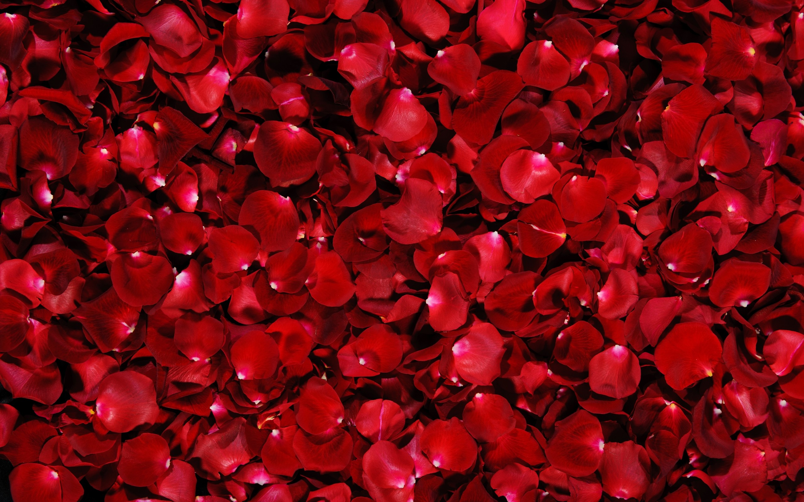 2560x1600 Red Rose Flowers Desktop Pc And Mac Wallpaper
