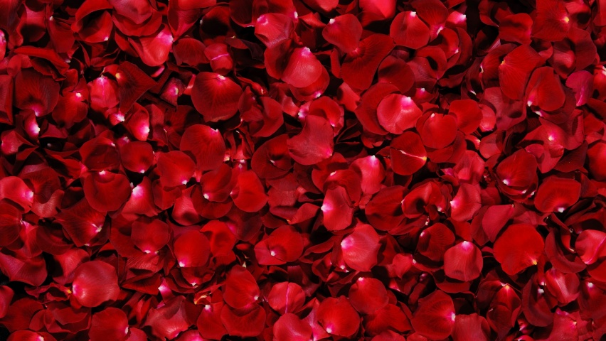 825x315 Red Rose Flowers Facebook Cover Photo