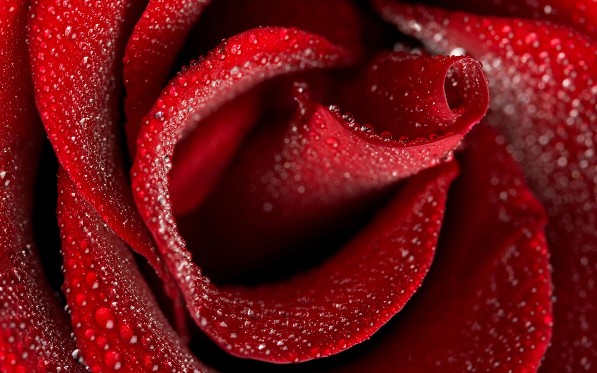 1920x1200 Red rose desktop PC and Mac wallpaper
