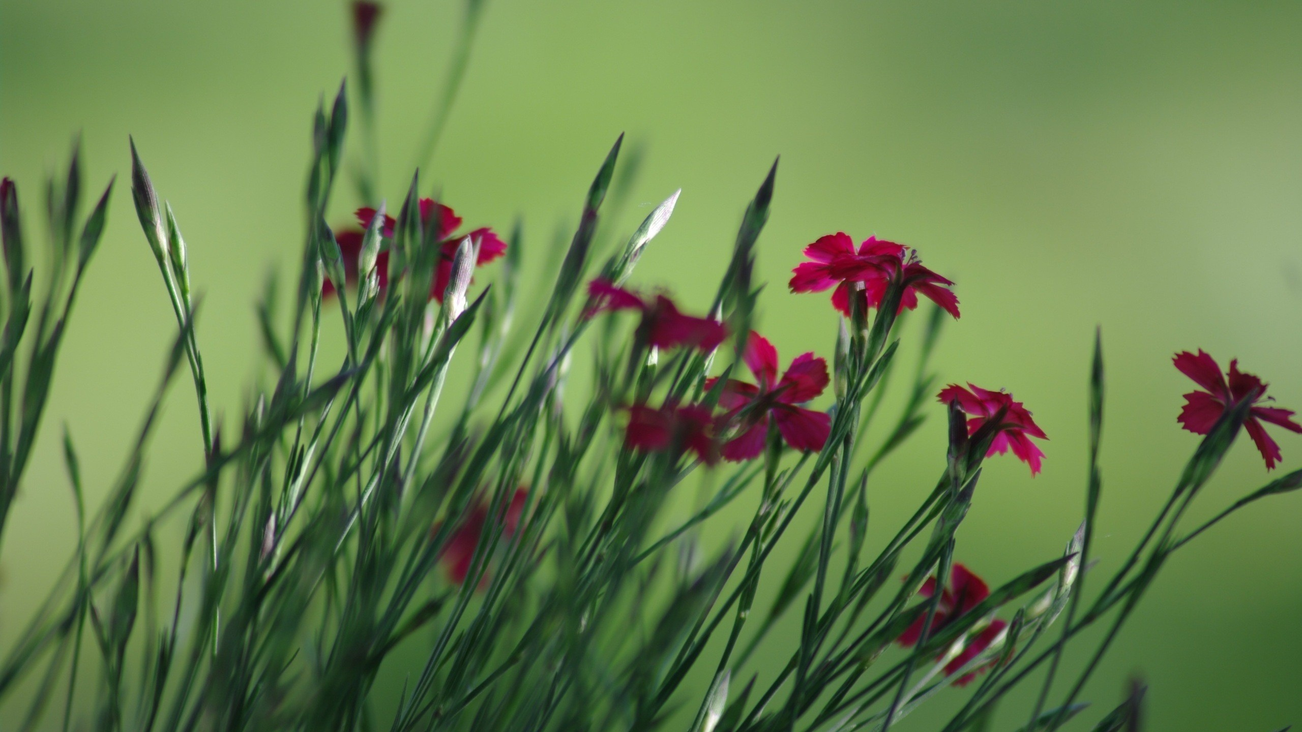 2560x1440 Red Spring Flowers Desktop PC And Mac Wallpaper