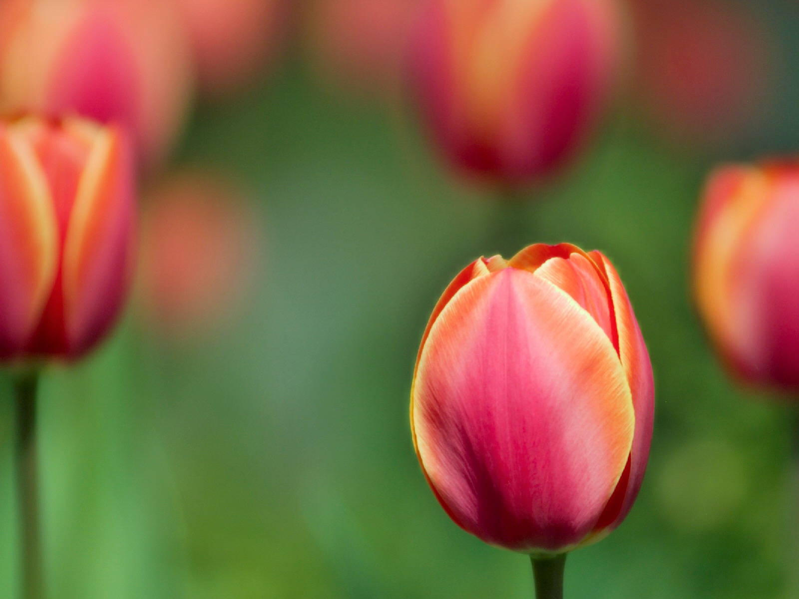 Wallpaper: Tulip Wallpapers