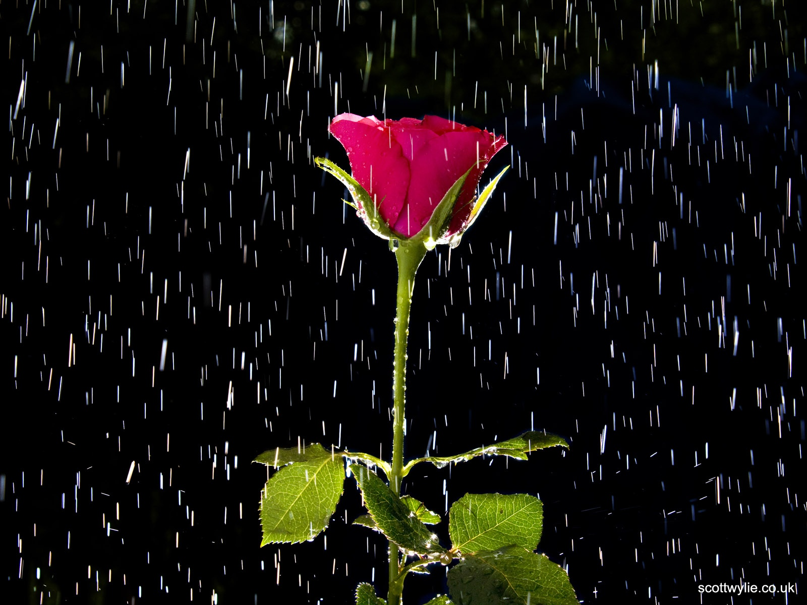 Rose and rain wallpapers rose and rain stock photos rose and rain wallpapers and stock photos voltagebd Image collections