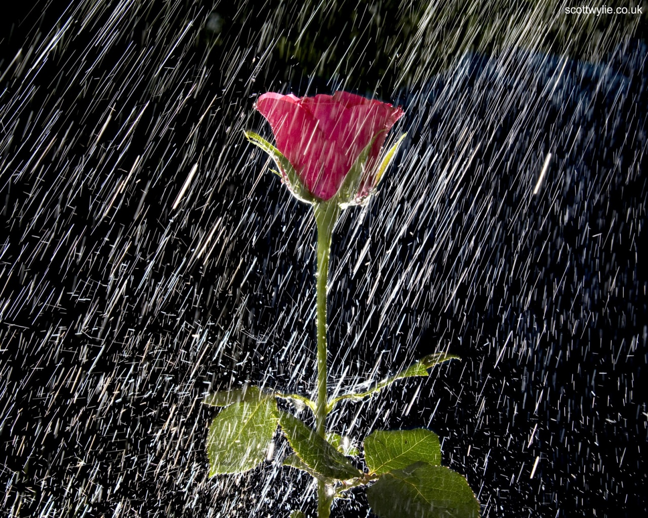 1280x1024 rose and water spray desktop pc and mac wallpaper