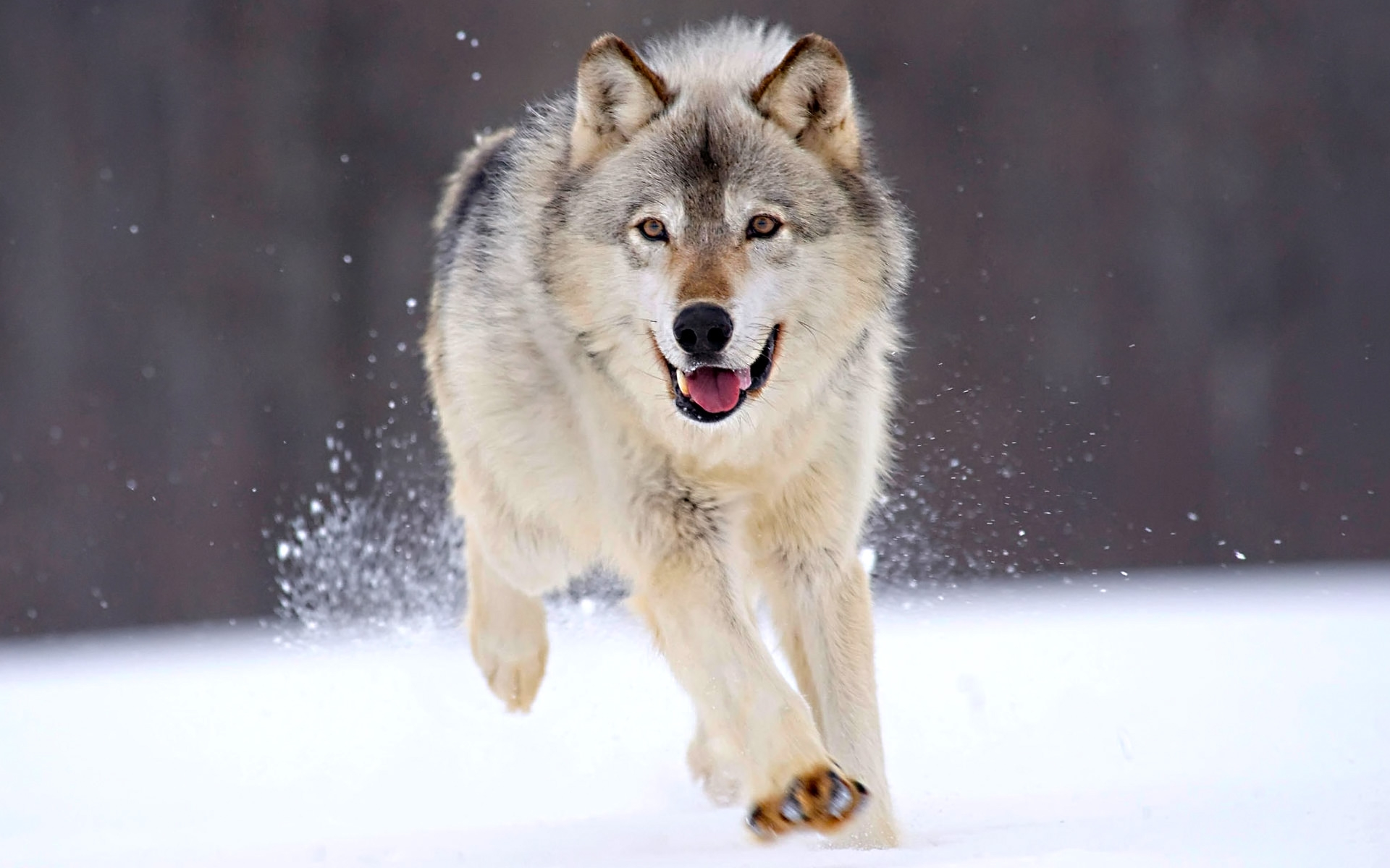 Most Inspiring Wallpaper Mac Wolf - running-wolf_wallpapers_23563_1920x1200  Gallery_279512.jpg