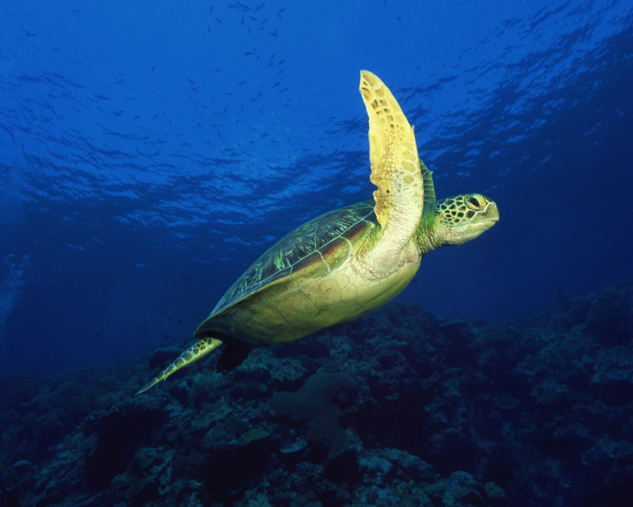 1280x1024 Sea turtle desktop wallpapers and stock photos