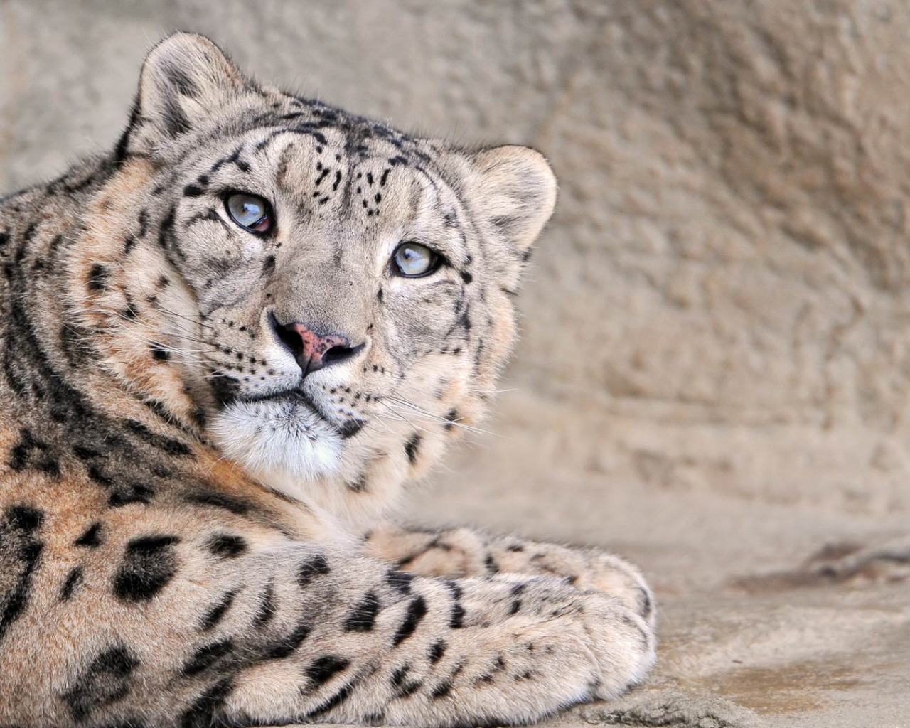 1280x1024 Snow Leopard, animal