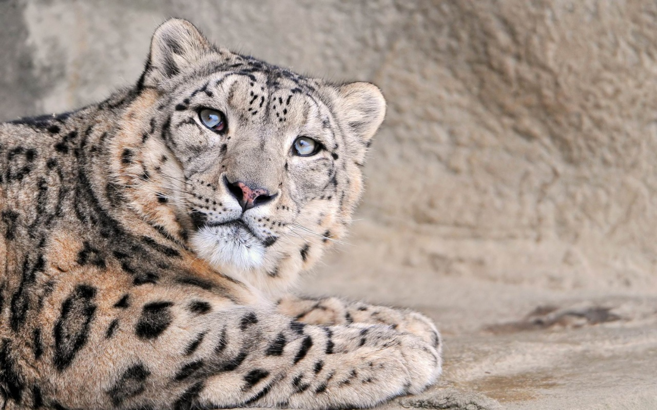 1280x800 Snow Leopard, animal