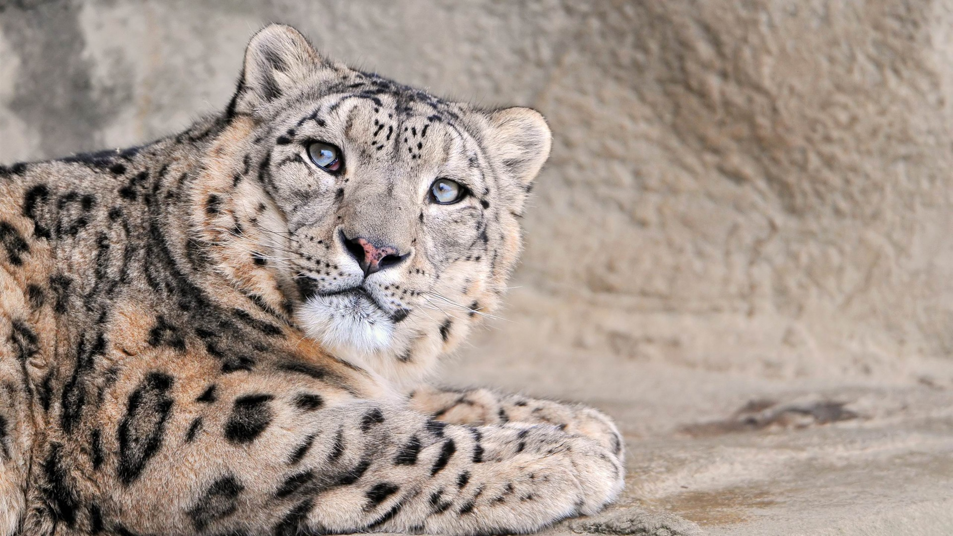 1920x1080 Snow Leopard, animal