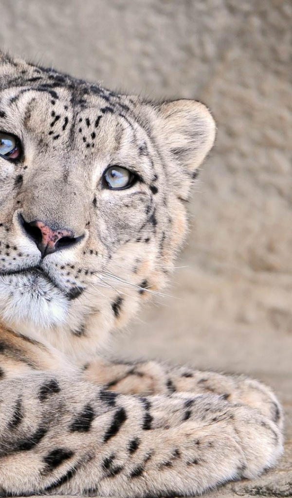 600x1024 Snow Leopard, animal