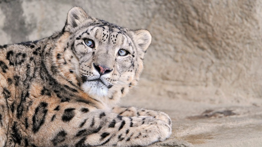 852x480 Snow Leopard, animal