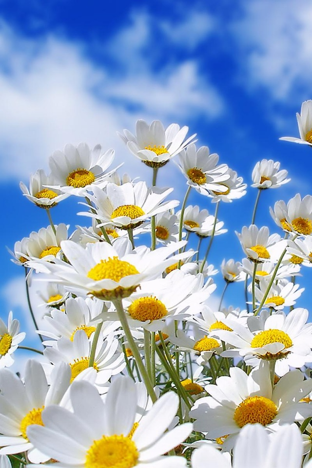 640x960 Spring Daisy Iphone 4 Wallpaper