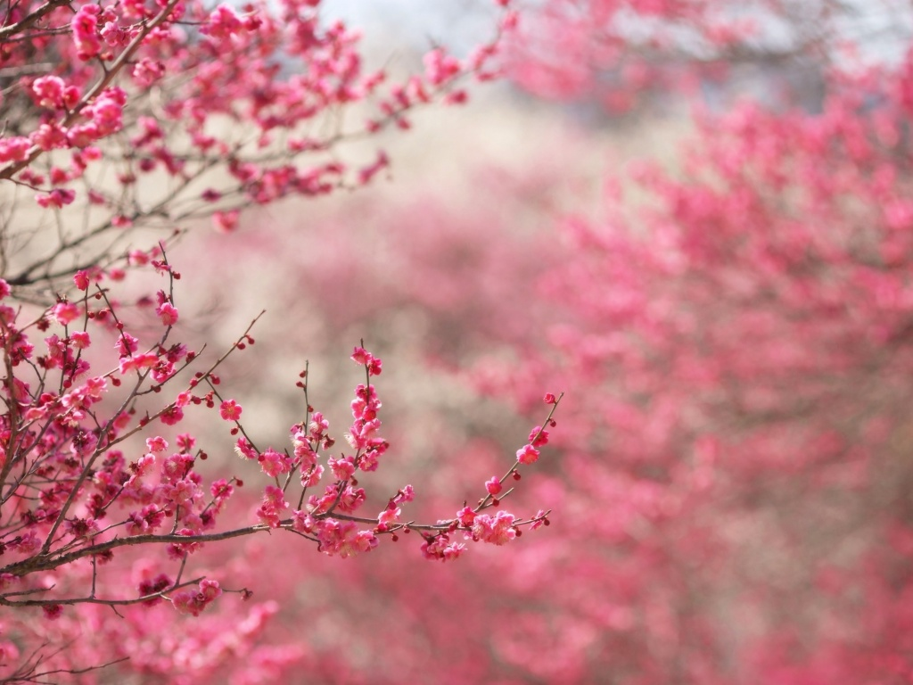 1024x768 Spring in pink