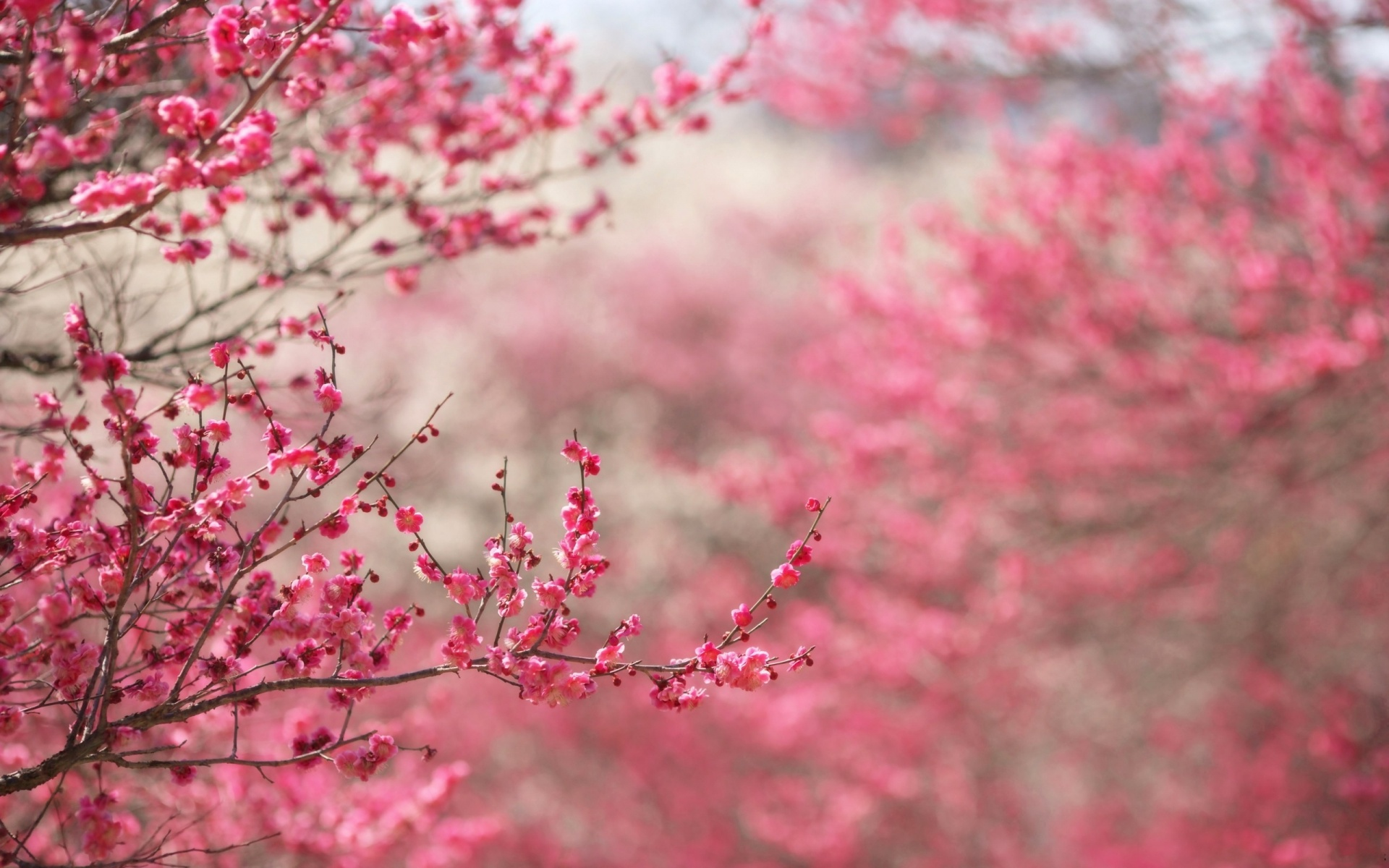 1920x1200 Spring In Pink Desktop Pc And Mac Wallpaper