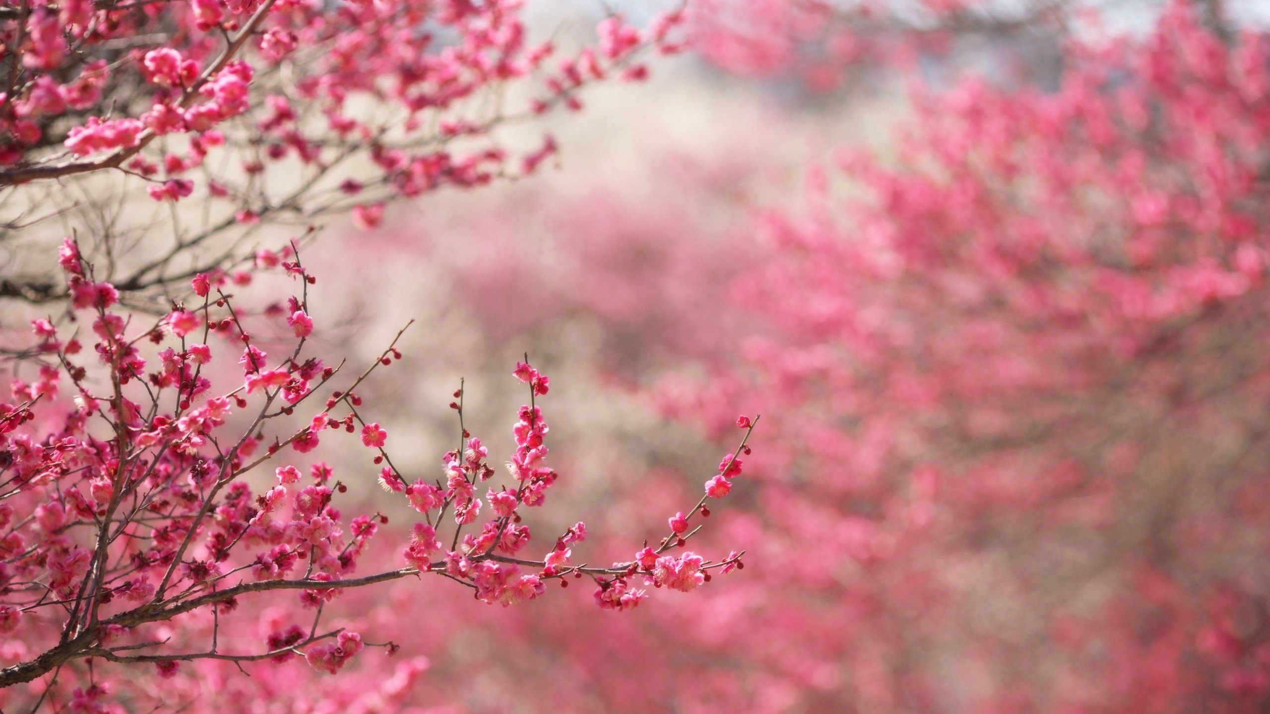 2560x1440 spring in pink desktop pc and mac wallpaper