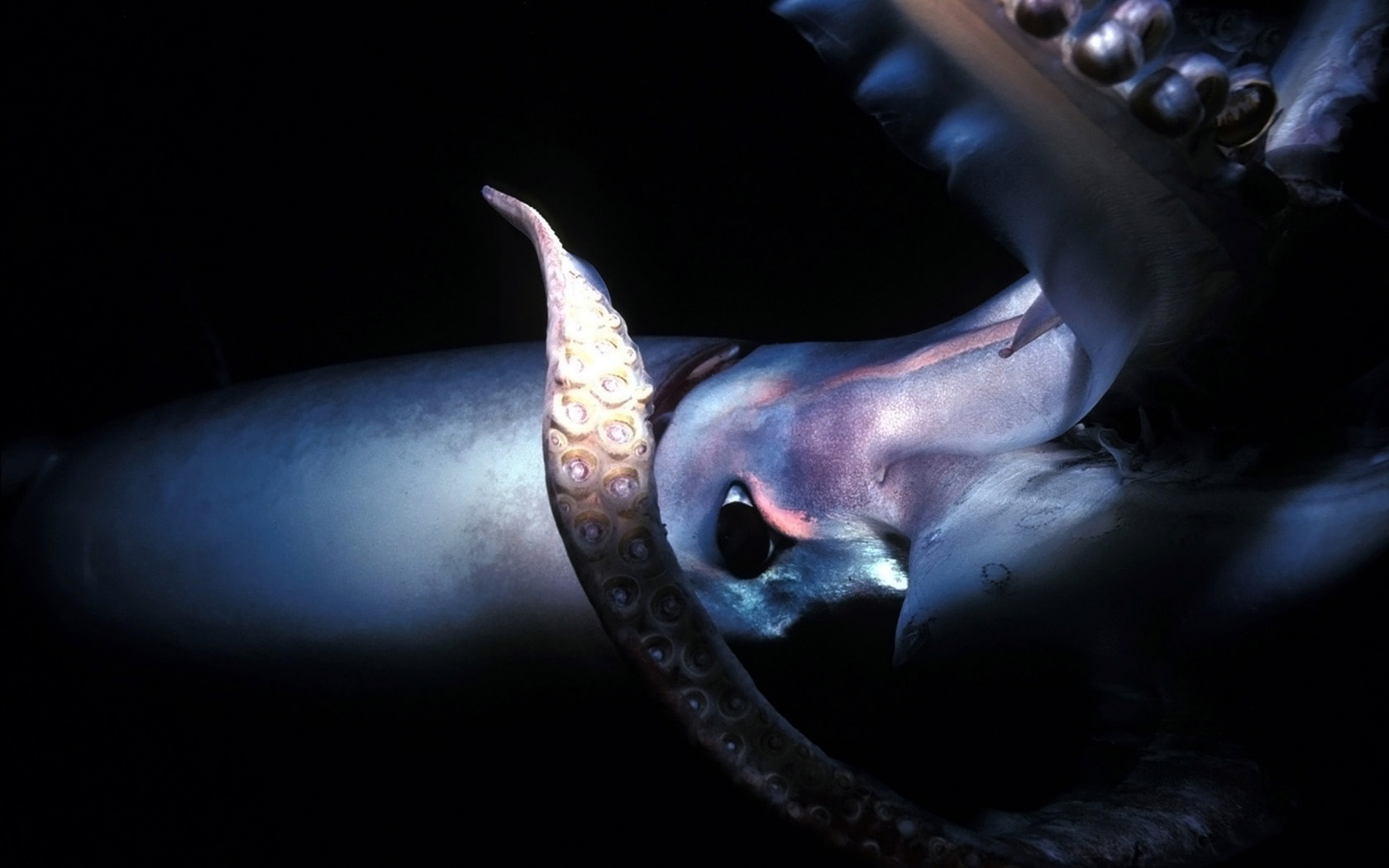 ||Where to buy wholesale squid cut bait in nj :: pics of ...