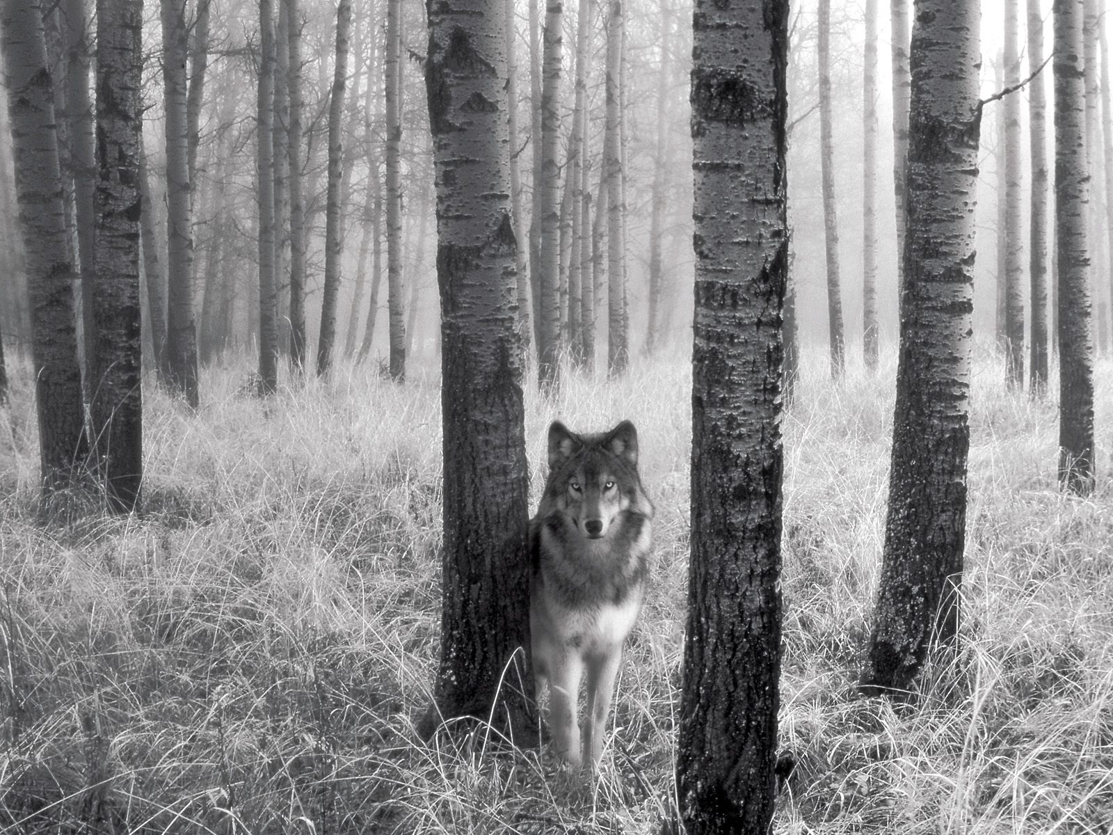 Black and white picture of wolf mature xxx