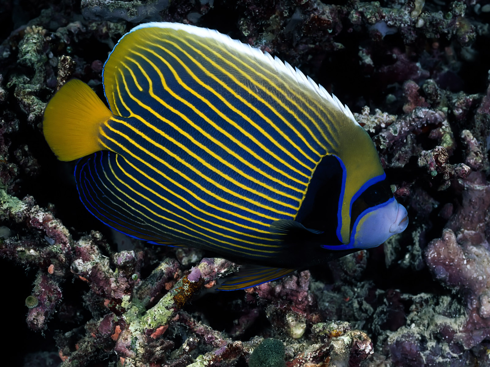 Stripes 3 wallpapers stripes 3 stock photos for Where to buy saltwater fish