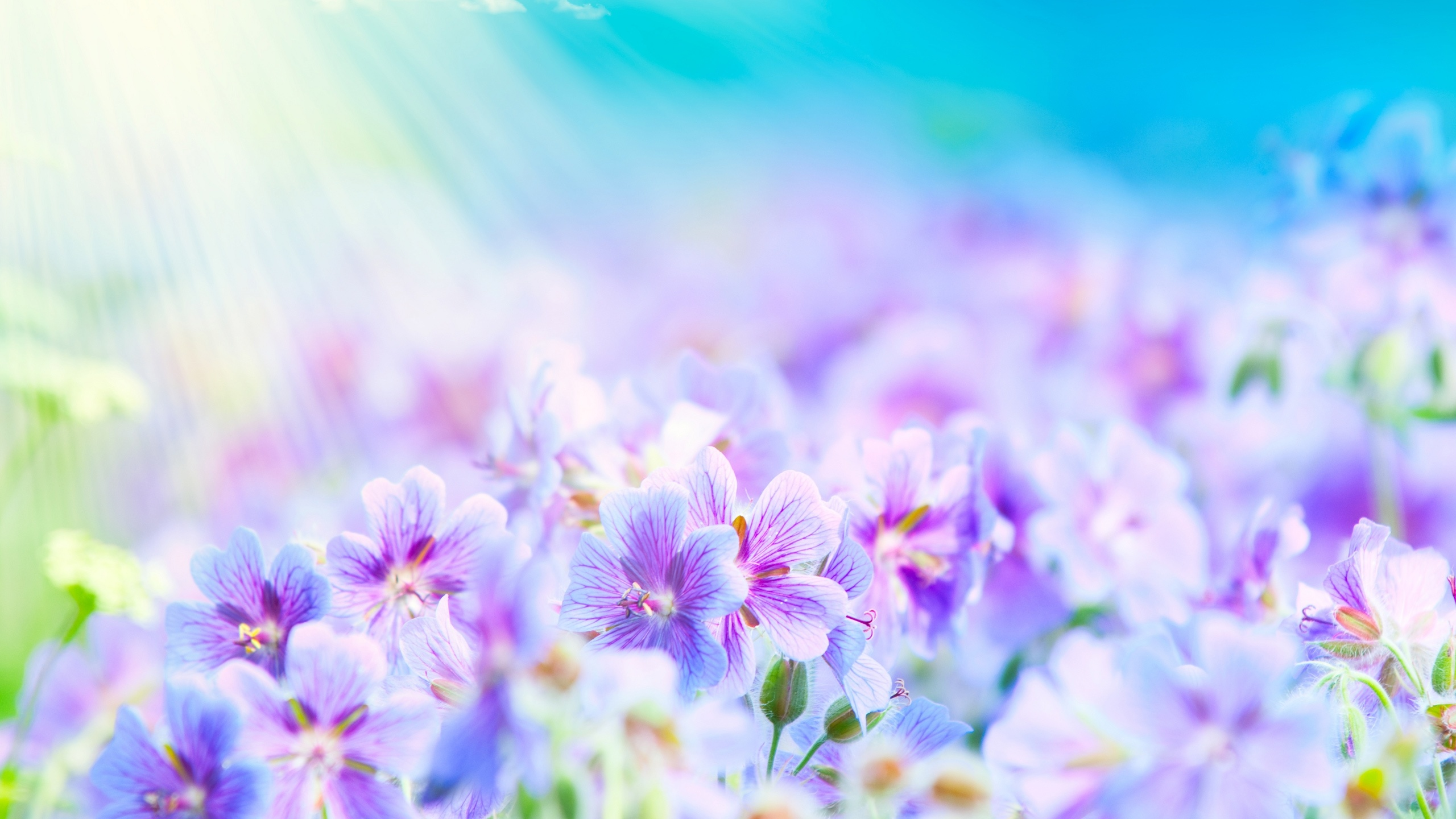 lavender flowers wallpapers 2560x1440 - photo #33