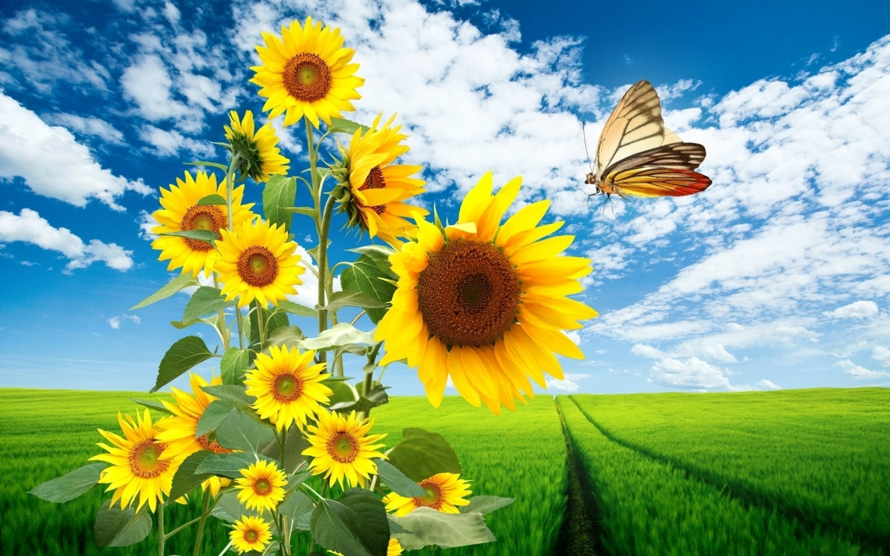 1280x800 Sun Flowers Butterfly & Nature
