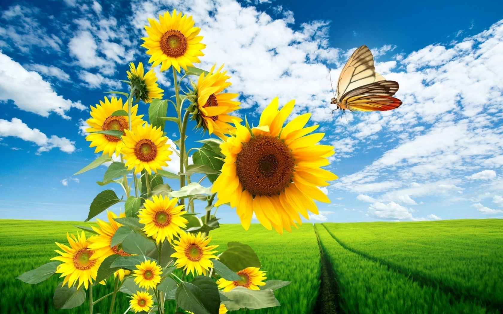 1680x1050 Sun Flowers Butterfly & Nature